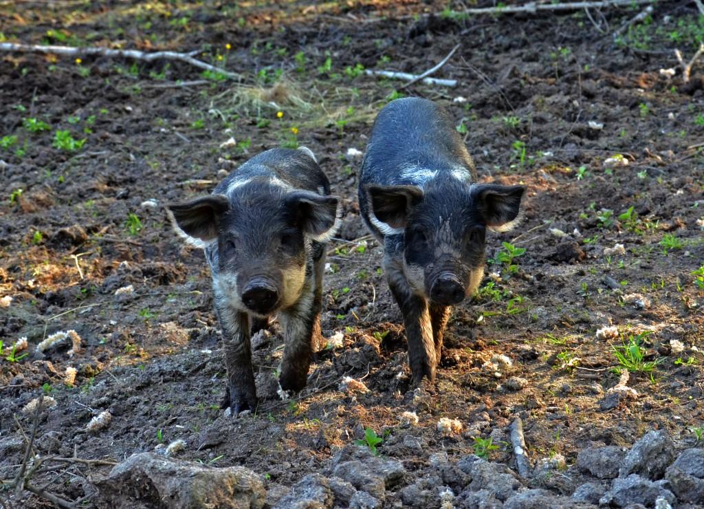 Wollschweine - Reindl Hof
